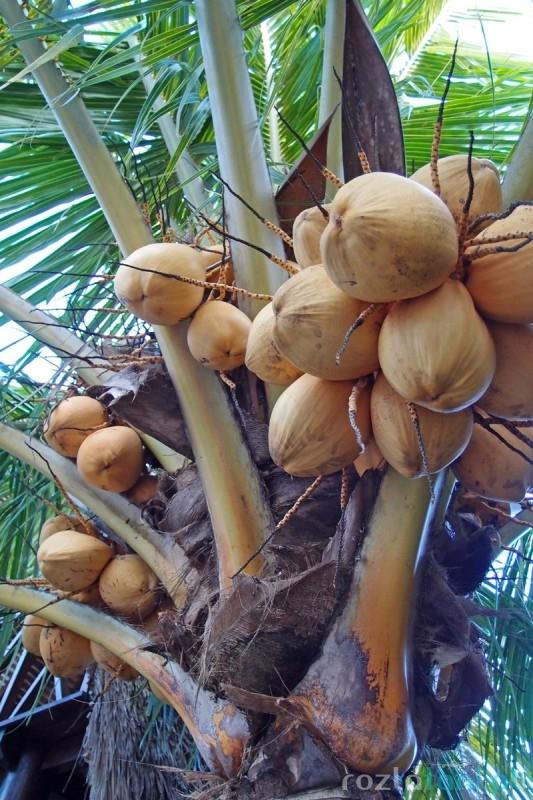 Kokosy na Bali