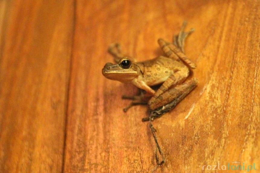 Żaba na Bali