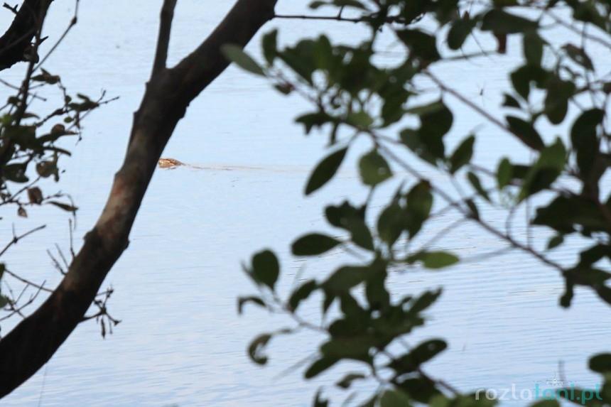 Krokodyl słonowodny - nasz sąsiad, łowi z Gabkiem ryby
